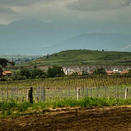 Frascati vineyards green picture